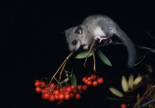 Squirrel「African Pygmy Squirrel Foraging Berries」:スマホ壁紙(16)
