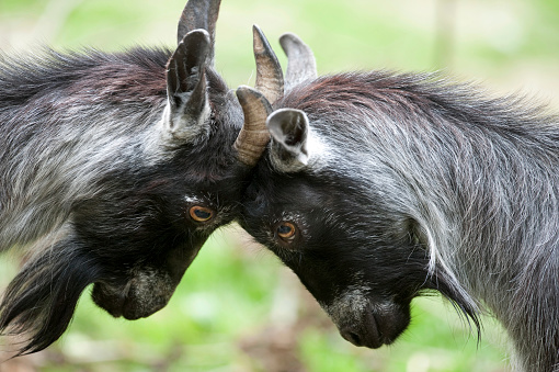 Horned「African Pygmy Goat, Domesticated」:スマホ壁紙(13)