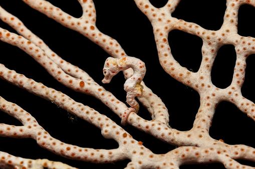 Camo「Master of Camouflage, Denise's Pygmy Seahorse Hippocampus denise, Raja Ampat, Indonesia」:スマホ壁紙(18)