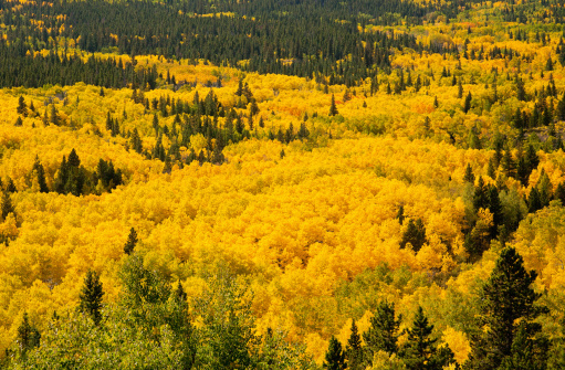 Aspen Tree「A sea of Aspen trees in peak fall color」:スマホ壁紙(14)