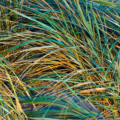アイリッシュ海「Ammophila Plant. Marram grass with warm tones of early morning」:スマホ壁紙(18)