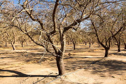 Grove「Dead and dying Almond trees in Almond groves in Wasco in the Central Valley of California after the irrigation water ran out following the four year long drought in the Western USA. 80% of the world's almonds are grown in California, and it takes 1.1 gall」:スマホ壁紙(12)