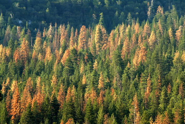 Tree「Beetles Bring Devastation And Extreme Fire Danger To Southern California Forests」:写真・画像(15)[壁紙.com]