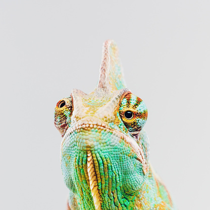 Grumpy Old Man「Green chameleon looking at camera」:スマホ壁紙(5)