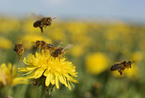 Uncultivated「Bee on dandelion」:スマホ壁紙(7)