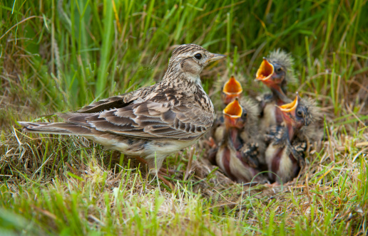Hungry「Skylark, Alauda arvensis, at nest with young, UK」:スマホ壁紙(17)