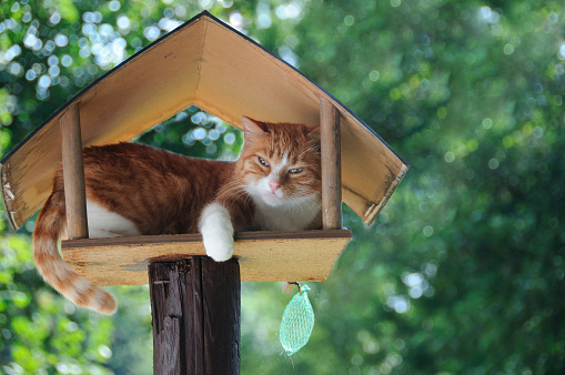 Mixed-Breed Cat「Funny red white cat sleeping in birdhouse green leaves」:スマホ壁紙(12)