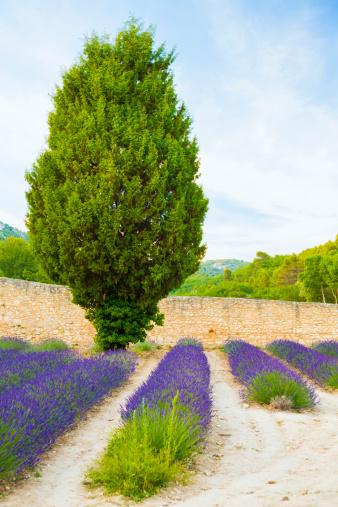 French Lavender「Provencal landscape」:スマホ壁紙(19)