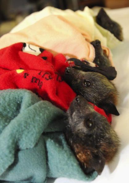 動物「Baby Flying Foxes Rescued In Queensland」:写真・画像(12)[壁紙.com]