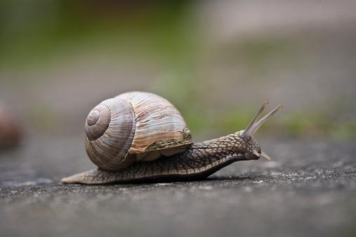 カタツムリ「Burgundy Snail」:スマホ壁紙(18)