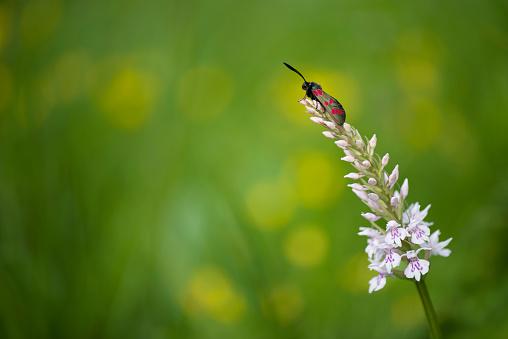 Insect「Six-spot Burnet on blossom」:スマホ壁紙(14)