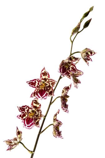 花「oriental orchid」:スマホ壁紙(4)