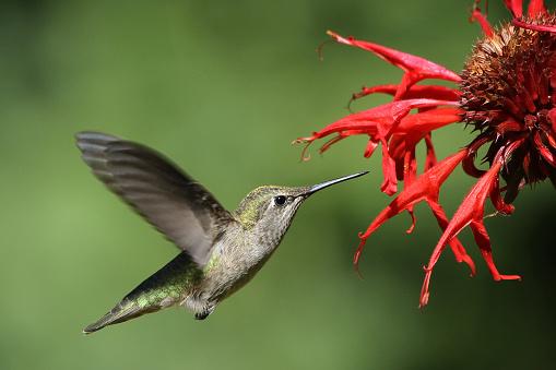 Bergamot「Hummingbird on Bee Balm」:スマホ壁紙(18)