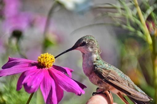 コスモス「Hummingbird pollinating cosmos flower」:スマホ壁紙(14)