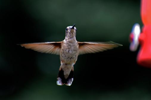 Flapping Wings「Hummingbird in flight」:スマホ壁紙(14)
