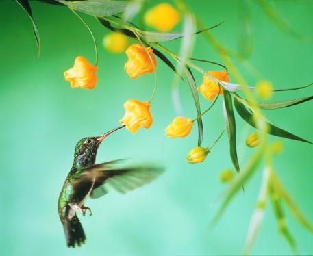 Effort「Hummingbird (Trochilidae) feeding from tropical bloom, close-up」:スマホ壁紙(0)