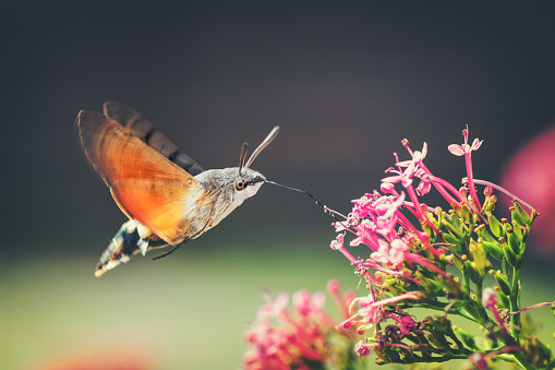 Ain - France「Hummingbird Hawk-moth butterfly sphinx insect flying on red valerian pink flowers in summer」:スマホ壁紙(13)