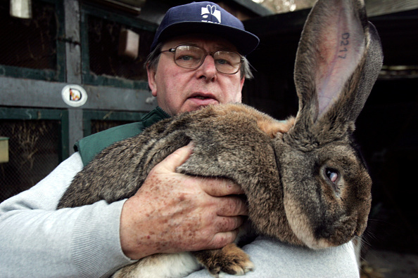 Rabbit - Animal「Giant Rabbits Farmer to Supply North Korea」:写真・画像(17)[壁紙.com]