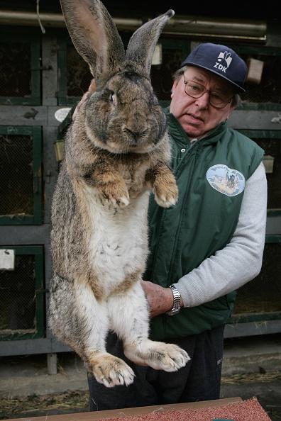 Rabbit - Animal「Giant Rabbit Farmer to Supply North Korea」:写真・画像(18)[壁紙.com]
