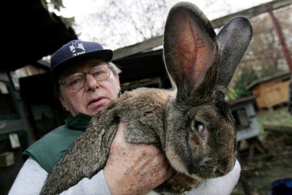 Rabbit - Animal「Giant Rabbit Farmer to Supply North Korea」:写真・画像(8)[壁紙.com]