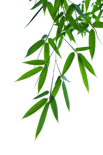 Bamboo - Plant「Bamboo leaves isolated on white background」:スマホ壁紙(10)