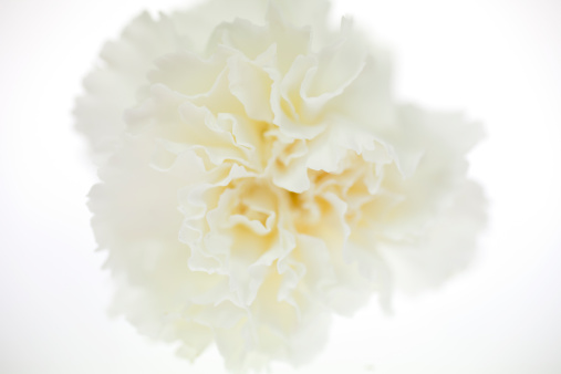 カーネーション「White carnation」:スマホ壁紙(9)