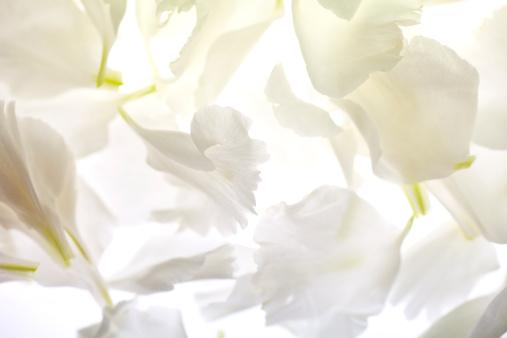 カーネーション「White carnation petals on illuminated background」:スマホ壁紙(10)