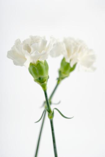 カーネーション「White carnations」:スマホ壁紙(3)
