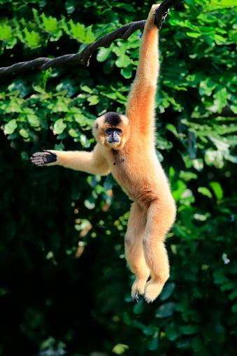 Peach「Yellow Cheeked Gibbon, (Nomascus gabriellae)」:スマホ壁紙(14)