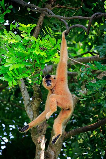 Peach「Yellow Cheeked Gibbon, (Nomascus gabriellae)」:スマホ壁紙(15)