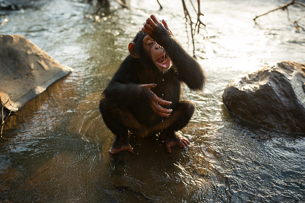 Shallow「Rehabilitating Chimpanzees - A Labour Of Love」:写真・画像(15)[壁紙.com]