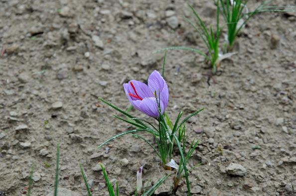 Spice「Saffron flower」:写真・画像(12)[壁紙.com]