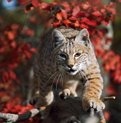 Hawthorn「Bobcat (Felis Rufus) Walks Along Branch Through Red Leaves Of A Hawthorn In Autumn」:スマホ壁紙(9)