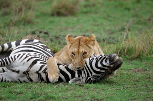 Animals Hunting「Wild African Lioness Holding Down a Just Captured Wild Zebra」:スマホ壁紙(11)