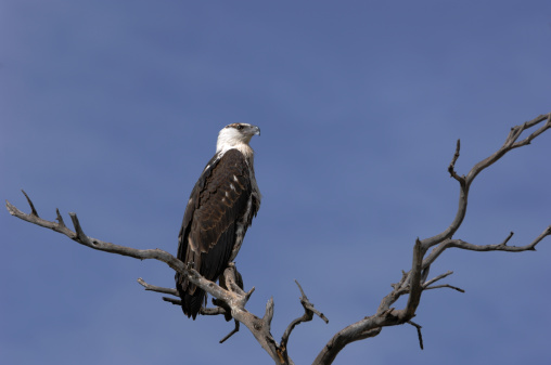 Eco Tourism「Wild African Fish Eagle Perched」:スマホ壁紙(5)