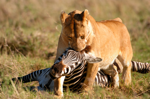 Animals Hunting「Wild African Lioness and Zebra Kill」:スマホ壁紙(4)