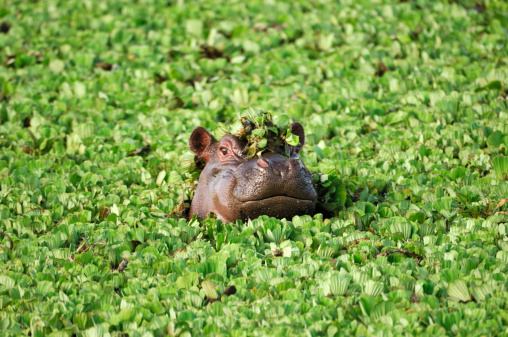 Animals In The Wild「Wild African Hippo with Head Above Floating Water Lettuce」:スマホ壁紙(9)