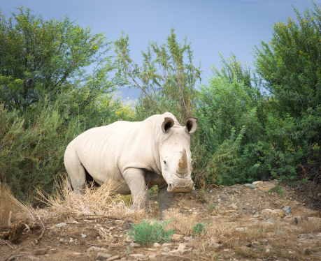 Horned「Wild African White Rhino, South Africa.」:スマホ壁紙(14)
