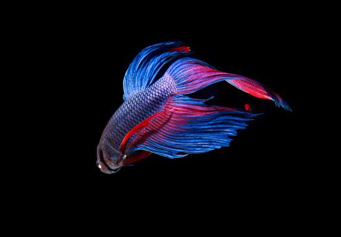 Siamese Fighting Fish「Siamese Fighting Fish」:スマホ壁紙(9)