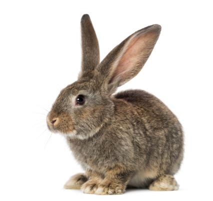 うさぎ「Rabbit, isolated on white」:スマホ壁紙(7)