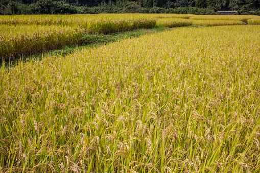 Japan「Terraced rice fields」:スマホ壁紙(3)
