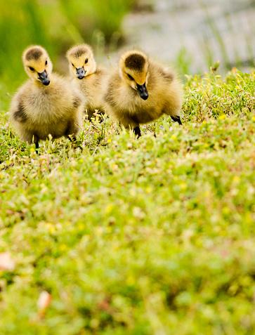 Foraging「Three Day Old Goslings」:スマホ壁紙(4)