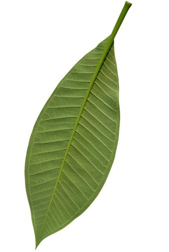 プルメリア「フランジパニ葉緑白で分離、クリッピングパス」:スマホ壁紙(18)