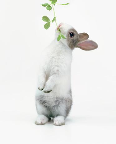 うさぎ「A rabbit eating leaves」:スマホ壁紙(3)