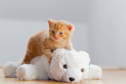 子猫「Germany, Kitten sitting on polar bear」:スマホ壁紙(8)