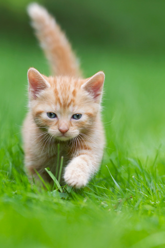 Kitten「Germany, Kitten walking in meadow, close up」:スマホ壁紙(18)