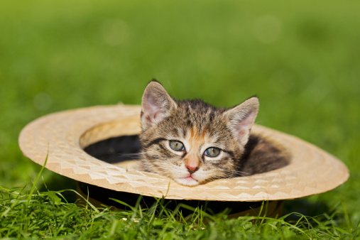 Kitten「Germany, Kitten sitting in hat, close up」:スマホ壁紙(10)