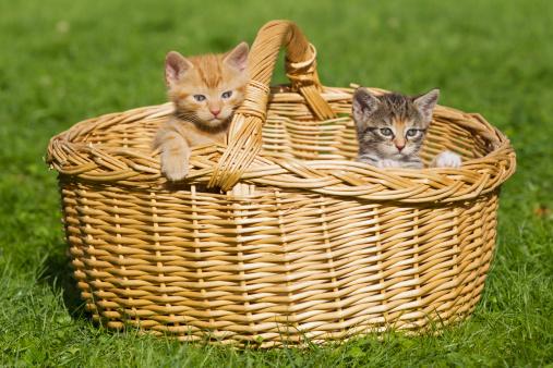 子猫「Germany, kittens sitting in basket, close up」:スマホ壁紙(11)