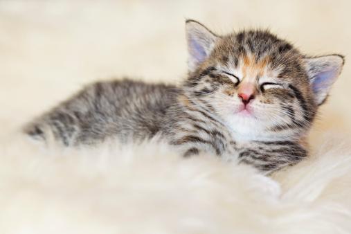 Kitten「Germany, kitten sleeping on fur, close up」:スマホ壁紙(2)