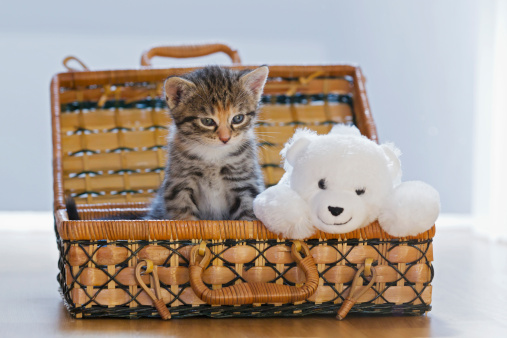 Kitten「Germany, Kitten with soft toy in box, close up」:スマホ壁紙(3)
